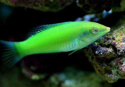 Губан зеленый (Halichoeres chloropterus)
