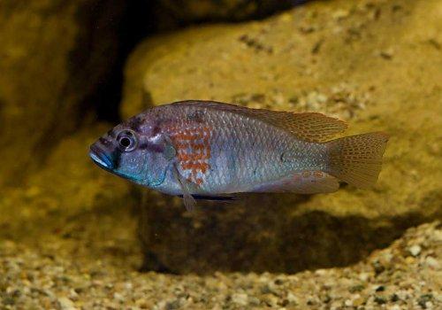 Хаплохромис Буртони (Haplochromis burtoni)