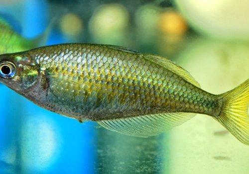 Глоссолепис ванамский