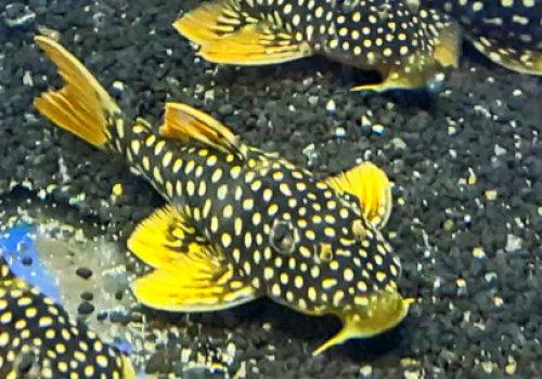 L014 Скобианциструс золотой (L014 Scobiancistrus aureatus)