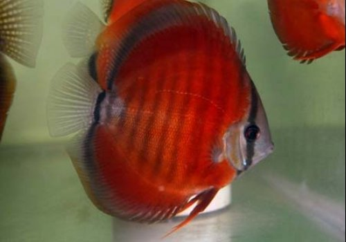 Дискус Красная роза (Discus Rose red)